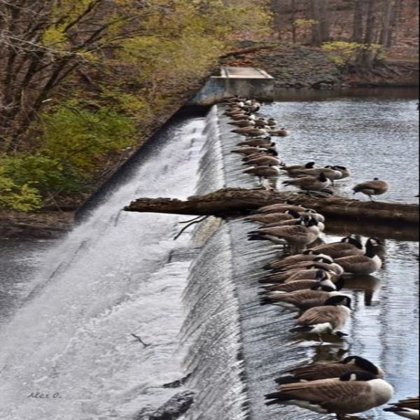 Alex Ostrow - Geese in a Row