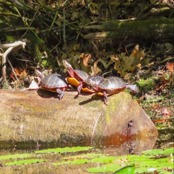 Mariana Giancola - Eastern Painted Turtles