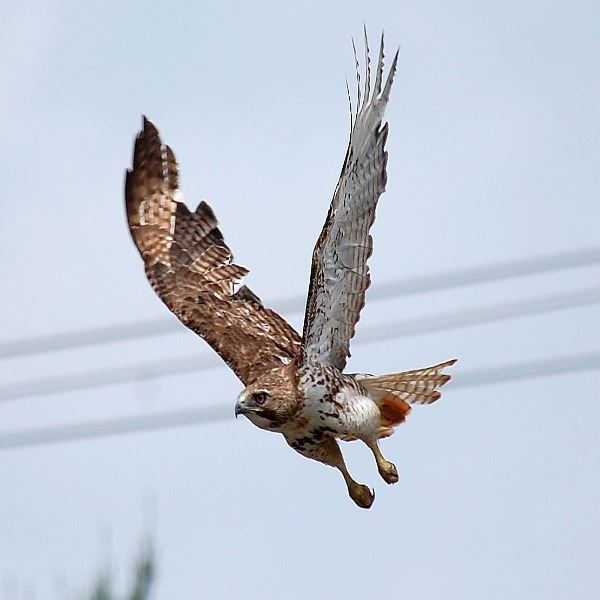 Brian Dohn - Red-Tailed Hawk on the Hunt